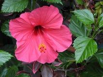 Hybiscus rosso magenta Immagine Stock