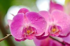 Hybr Montigo de Phalaenopsis d'Orquidea Photographie stock libre de droits