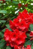 Hybrid Azalia Rhododendron hybridum in a formal castle garden Royalty Free Stock Image