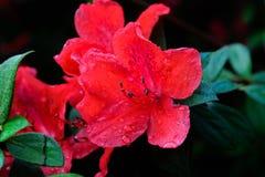 Hybrid Azalia Rhododendron hybridum Royalty Free Stock Images