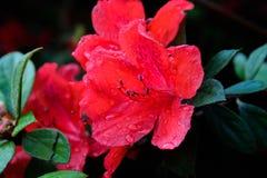 Hybrid Azalia Rhododendron hybridum Royalty Free Stock Photography