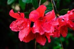 Hybrid Azalia Rhododendron hybridum Stock Photos