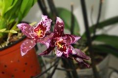 Hybrid Beallara orchids Royalty Free Stock Photos