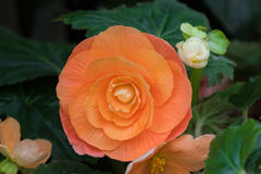 Hybrid Begonia tuberhybrida flower in salmon orange color in Tas. Closeup of Hybrid Begonia tuberhybrida flower in salmon pale orange color grown in Tasmania stock photography