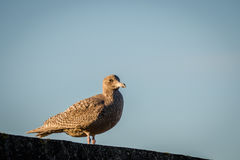 Hybrid bird, a mix of European Herring Gull Larus argentatus and Glaucous gull Larus hyperboreus standing on a wall Stock Images