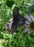 Hybrid Black Swallowtail Butterfly Stock Photo