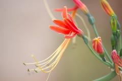 Hybrid- blomning för Hippeastrum cybister i blommaträdgård royaltyfri foto