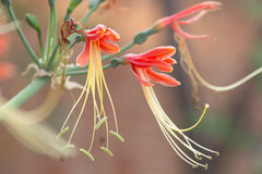 Hybrid- blomning för Hippeastrum cybister i blommaträdgård arkivfoto