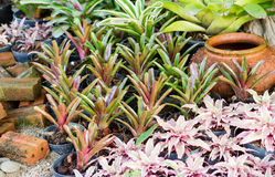 Hybrid of bromeliad decoration Royalty Free Stock Images