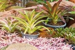 Hybrid of bromeliad decoration Stock Image