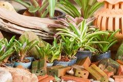 Hybrid of bromeliad decoration Stock Photo