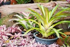 Hybrid of bromeliad decoration Stock Images
