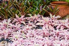 Hybrid of bromeliad decoration Stock Photography