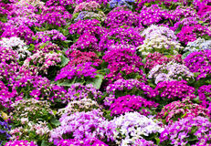 Hybrid Cineraria flower Royalty Free Stock Photo