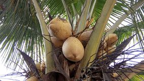 Hybrid Coconut Tree and Fruits. The hybrid Variety is the perfect solution for farmers aspiring to develop a farm in which their coconut trees should deliver stock images