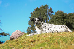 Hybrid dalmatian dog lay on a hill with blue sky Royalty Free Stock Image