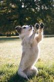 Hybrid dog sit up and beg royalty free stock photo