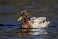 Hybrid Duck Stock Photography