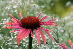 Hybrid Echinacea 'Sunset' Stock Images