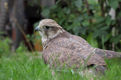 Hybrid falcon (Gyrfalcon + Peregrin). Stock Photos