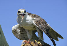 Hybrid Falconer's Falcon Royalty Free Stock Images