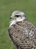 Hybrid Falconer's Falcon Royalty Free Stock Image