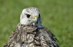 Hybrid Falconer's Falcon Royalty Free Stock Photos