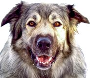 Hybrid German Shepherd Great Pyrenees Dog. Closeup of hybrid German Shepherd Great Pyrenees Dog in full winter coat Stock Photo