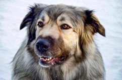 Hybrid German Shepherd Great Pyrenees Dog. Closeup of hybrid German Shepherd Great Pyrenees Dog in full winter coat Royalty Free Stock Images