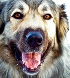 Hybrid German Shepherd Great Pyrenees Dog Stock Images