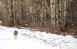Hybrid German Shepherd Great Pyrenees Dog. Dog in a full run on a country road in the Canadian winter prairies Royalty Free Stock Photos