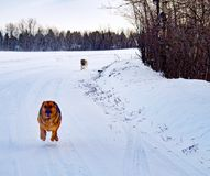 Hybrid German Shepherd Great Pyrenees Dog. In a full run on a country road in the Canadian winter prairies Stock Image