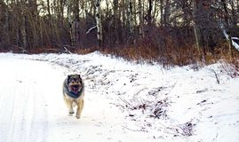 Hybrid German Shepherd Great Pyrenees Dog. In a full run on a country road in the Canadian winter prairies Royalty Free Stock Image