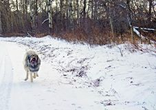 Hybrid German Shepherd Great Pyrenees Dog. Dog in a full run on a country road in the Canadian winter prairies Stock Photography