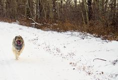Hybrid German Shepherd Great Pyrenees Dog. In a full run on a country road in the Canadian winter prairies Royalty Free Stock Photos
