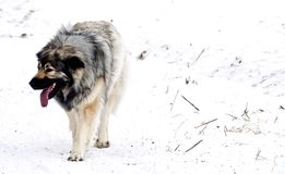 Hybrid German Shepherd Great Pyrenees Dog. Playing in the snow on a cold Canadian winter morning Royalty Free Stock Photo