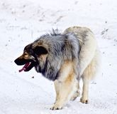 Hybrid German Shepherd Great Pyrenees Dog. Playing in the snow on a cold Canadian winter morning Stock Image