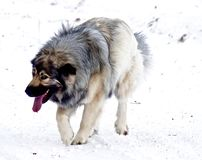 Hybrid German Shepherd Great Pyrenees Dog. Playing in the snow on a cold Canadian winter morning Royalty Free Stock Photography