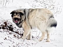 Hybrid German Shepherd Great Pyrenees Dog. Playing in the snow on a cold Canadian winter morning Stock Photos