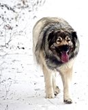 Hybrid German Shepherd Great Pyrenees Dog. Slowing down after a run in the Canadian winter prairies Royalty Free Stock Photography