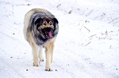 Hybrid German Shepherd Great Pyrenees Dog. Slowing down during a run in the Canadian winter prairies Stock Photography