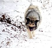 Hybrid German Shepherd Great Pyrenees Dog. Slowing down during a run in the Canadian winter prairies Royalty Free Stock Photo