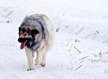 Hybrid German Shepherd Great Pyrenees Dog. Slowing down during a run in the Canadian winter prairies Stock Images