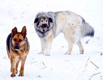 Hybrid German Shepherd Great Pyrenees and Female German Shepherd Dogs. Playing in the snow on a cold Canadian winter morning Stock Images