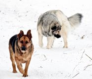 Hybrid German Shepherd Great Pyrenees and Female German Shepherd Dogs. Dogs playing in winter Canadian fields Royalty Free Stock Images
