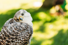 Hybrid Gyrfalcon and Saker falcon Royalty Free Stock Photo