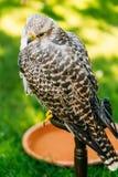 Hybrid Gyrfalcon and Saker falcon Stock Photo