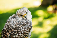 Hybrid Gyrfalcon and Saker falcon Stock Photos