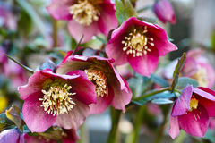 Hellebores pink blossom. Pink-purple Hybrid Hellebores blossoming in a garden in Germany at early spring Royalty Free Stock Photos