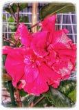 Hybrid Hibiscus Potrait Stock Photography